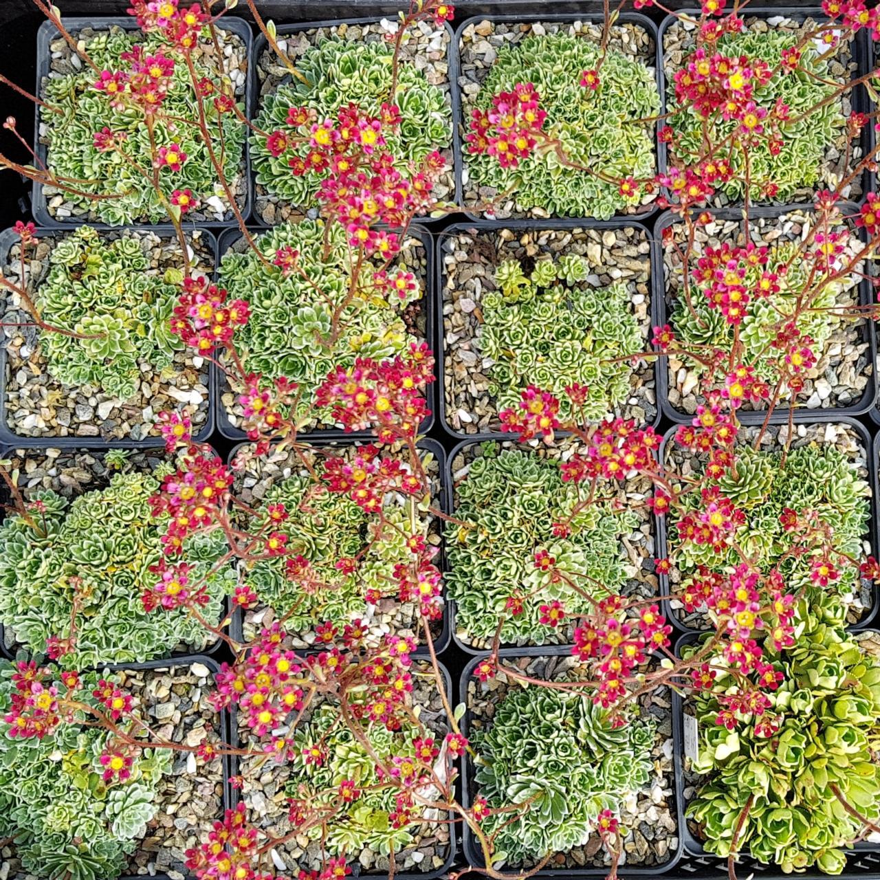 Saxifraga 'Jaromir' plant