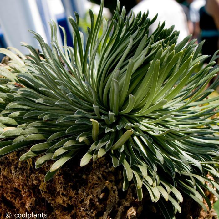 Saxifraga longifolia plant
