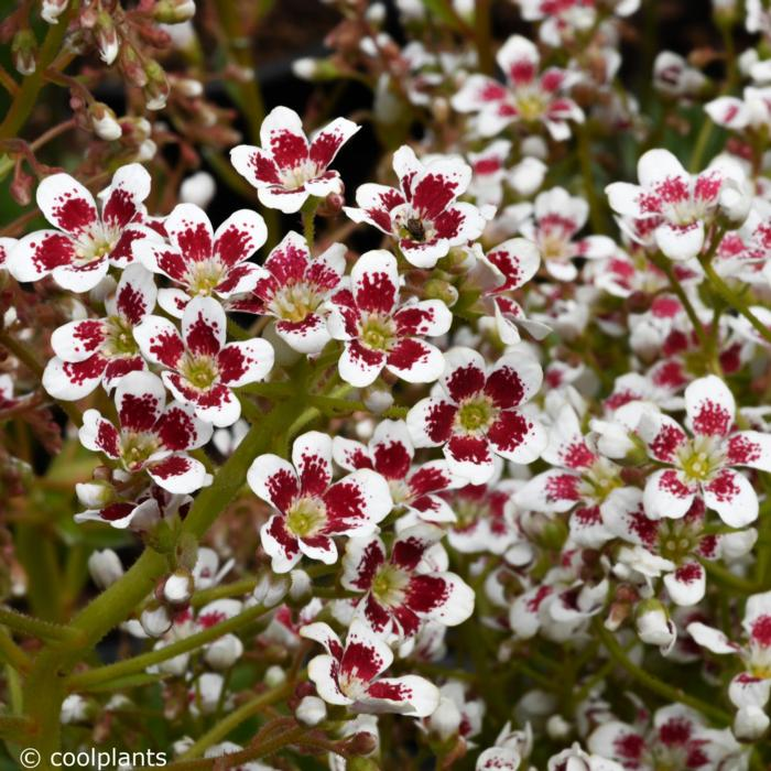 Saxifraga 'Southside Seedling' Red Form plant