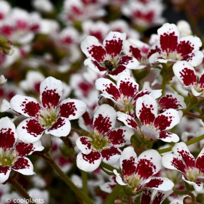 saxifraga-southside-seedling-red-form