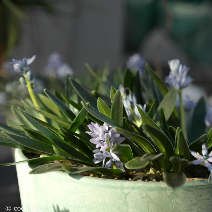 Scilla lingulata plant
