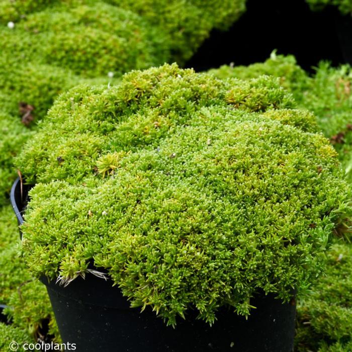 Scleranthus biflorus plant