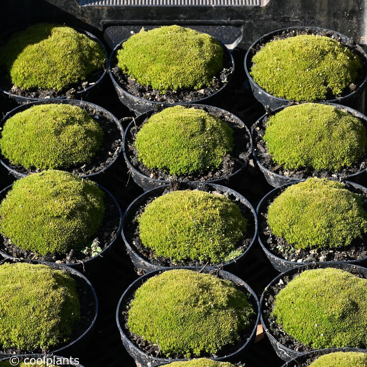 Scleranthus uniflorus Bronze Form plant
