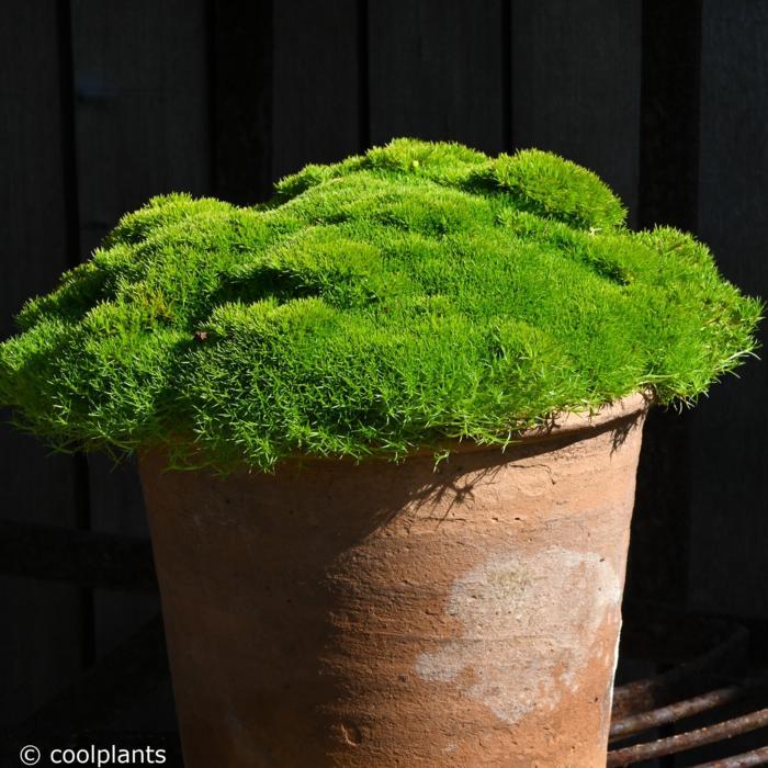 Scleranthus uniflorus plant