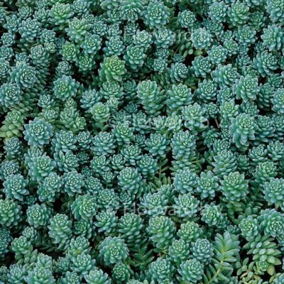 sedum-dasyphyllum