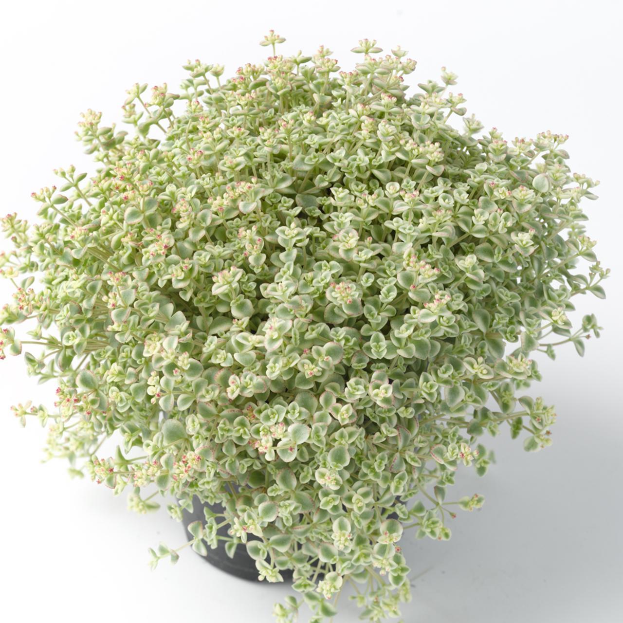 Sedum 'Little Missy' plant
