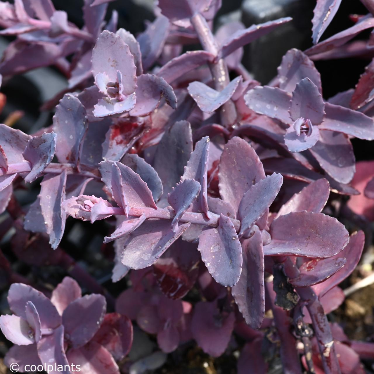 Sedum 'Mojave Jewels Ruby' plant