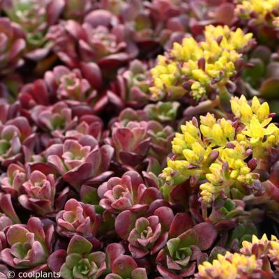 sedum-spathulifolium-darkness