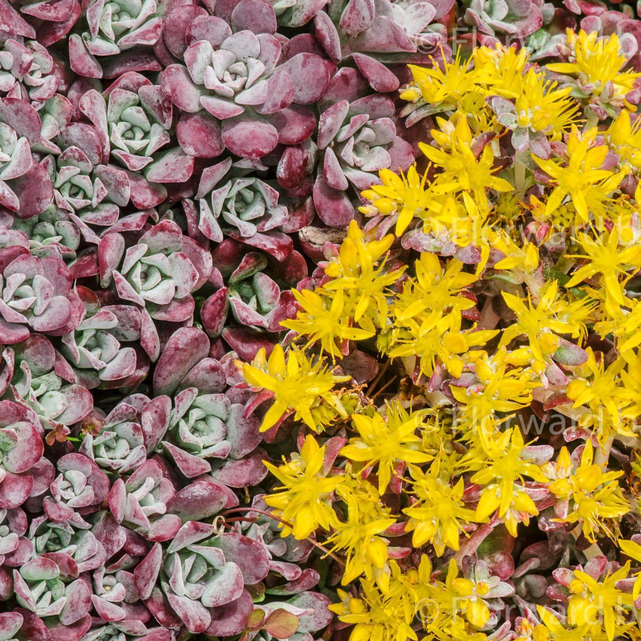 Sedum spathulifolium 'Purpureum' plant