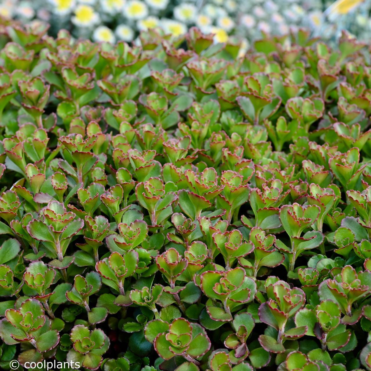 Sedum spurium 'Purple Winter' plant