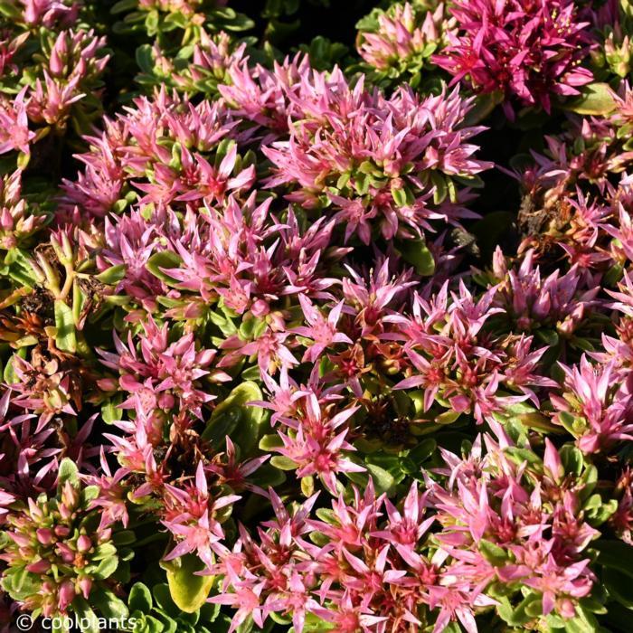 Sedum spurium 'Spot on Pink' plant