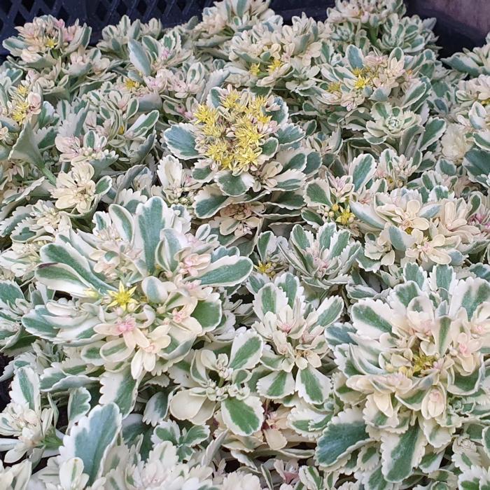 Sedum takesimense 'Atlantis' plant