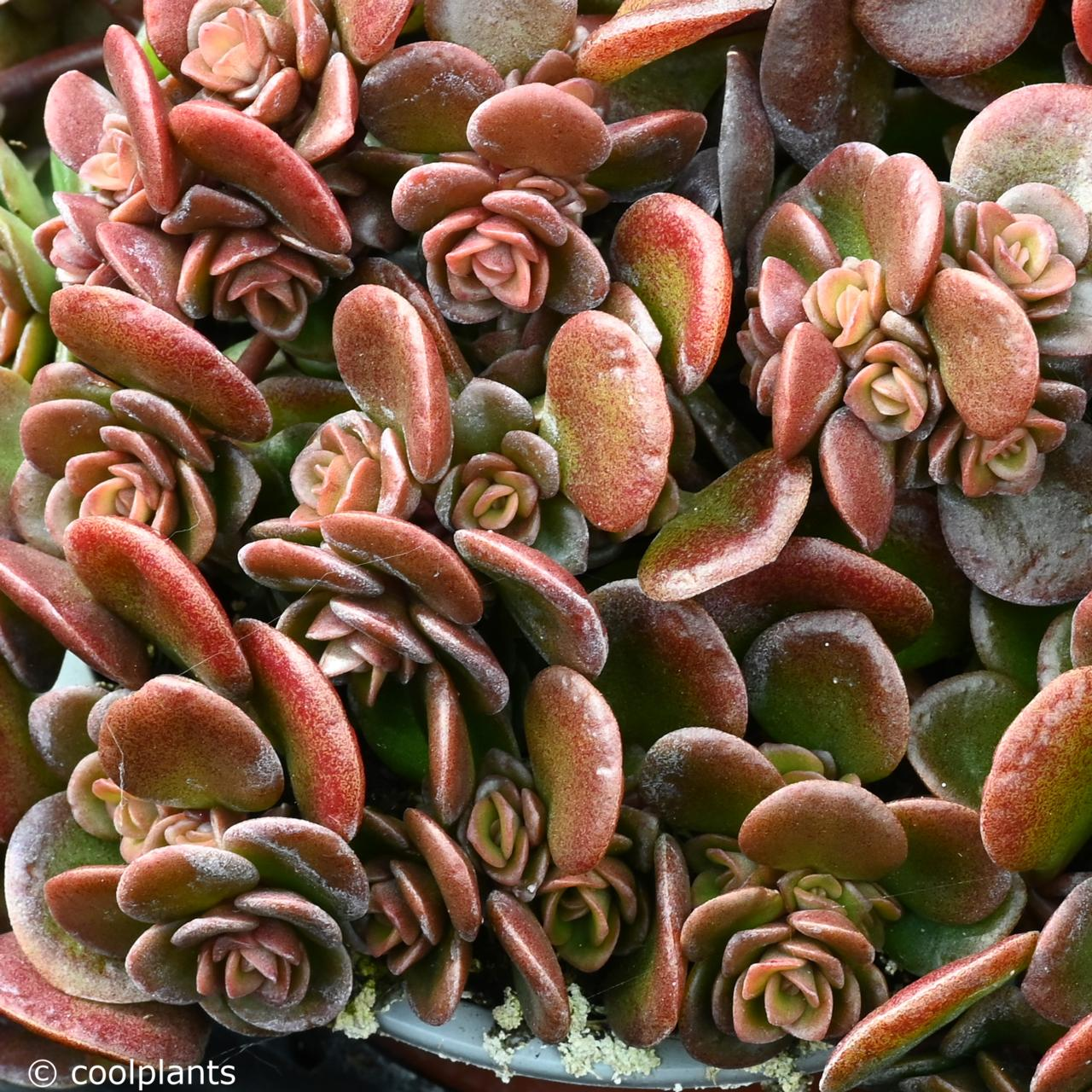 Sedum tetractinum 'Coral Reef' plant