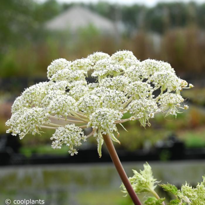 Selinum wallichianum plant