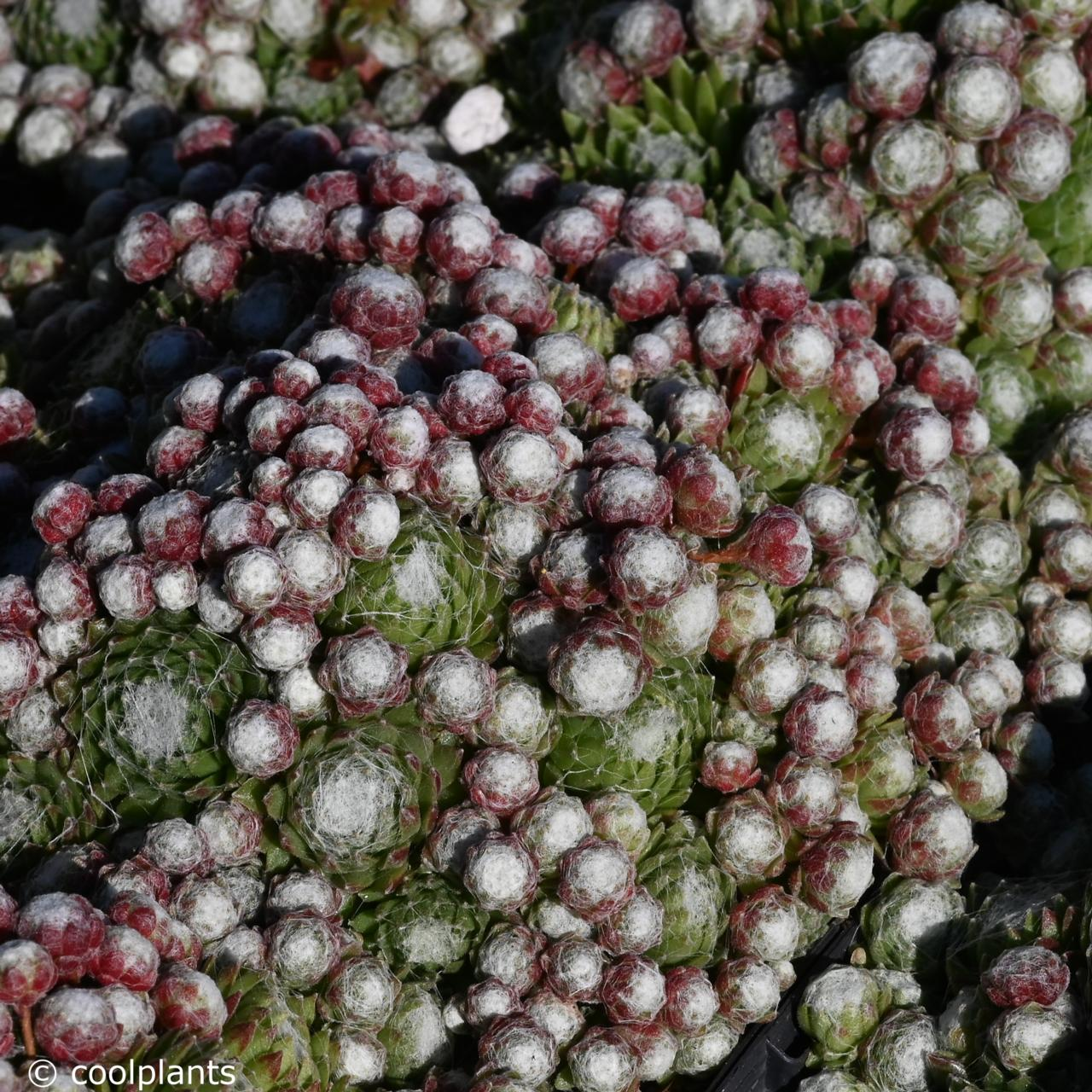 Sempervivum arach. 'Minus' plant