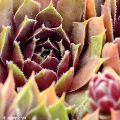 sempervivum-irazu