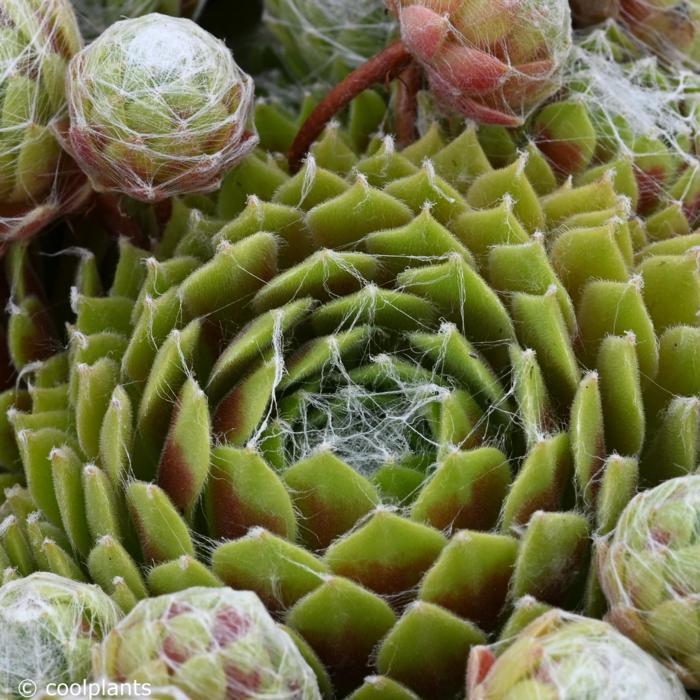 Sempervivum 'Kramers Spinrad' plant