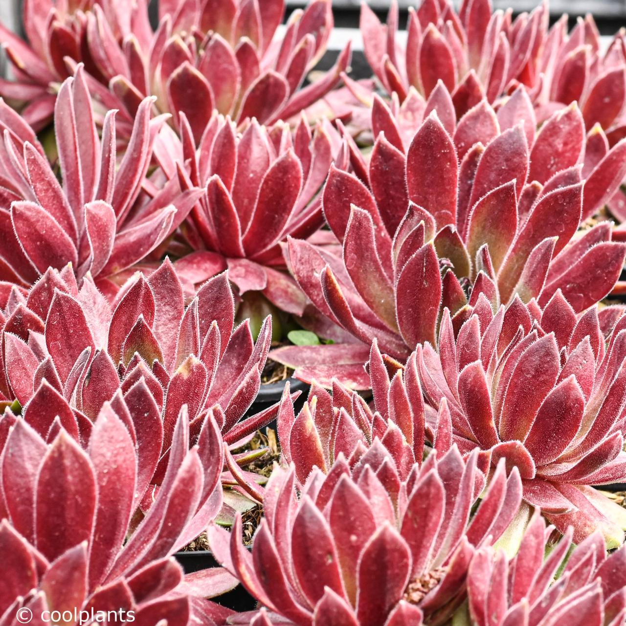Sempervivum 'Passionata' plant