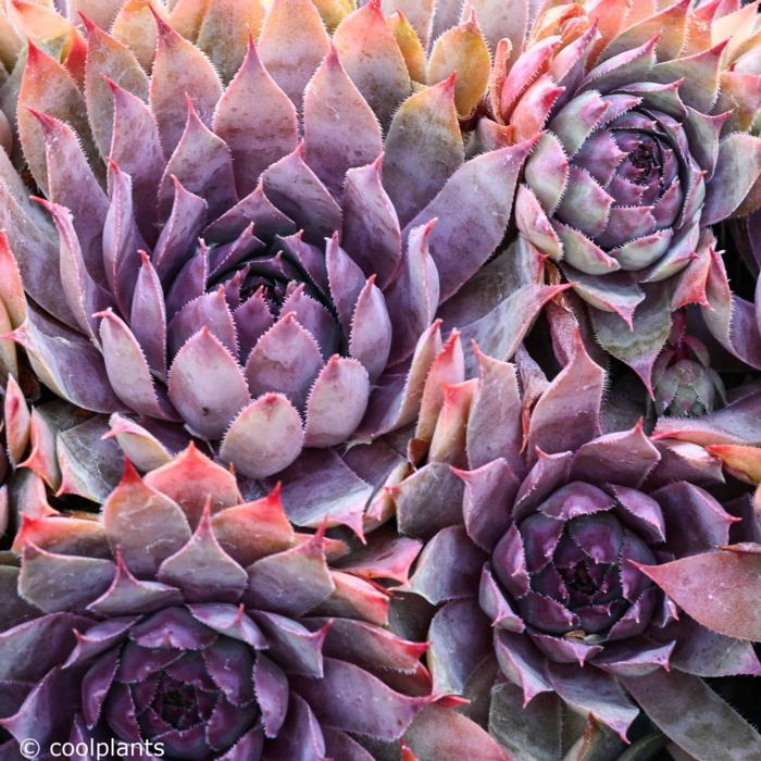 Sempervivum 'Purple Beauty'  plant