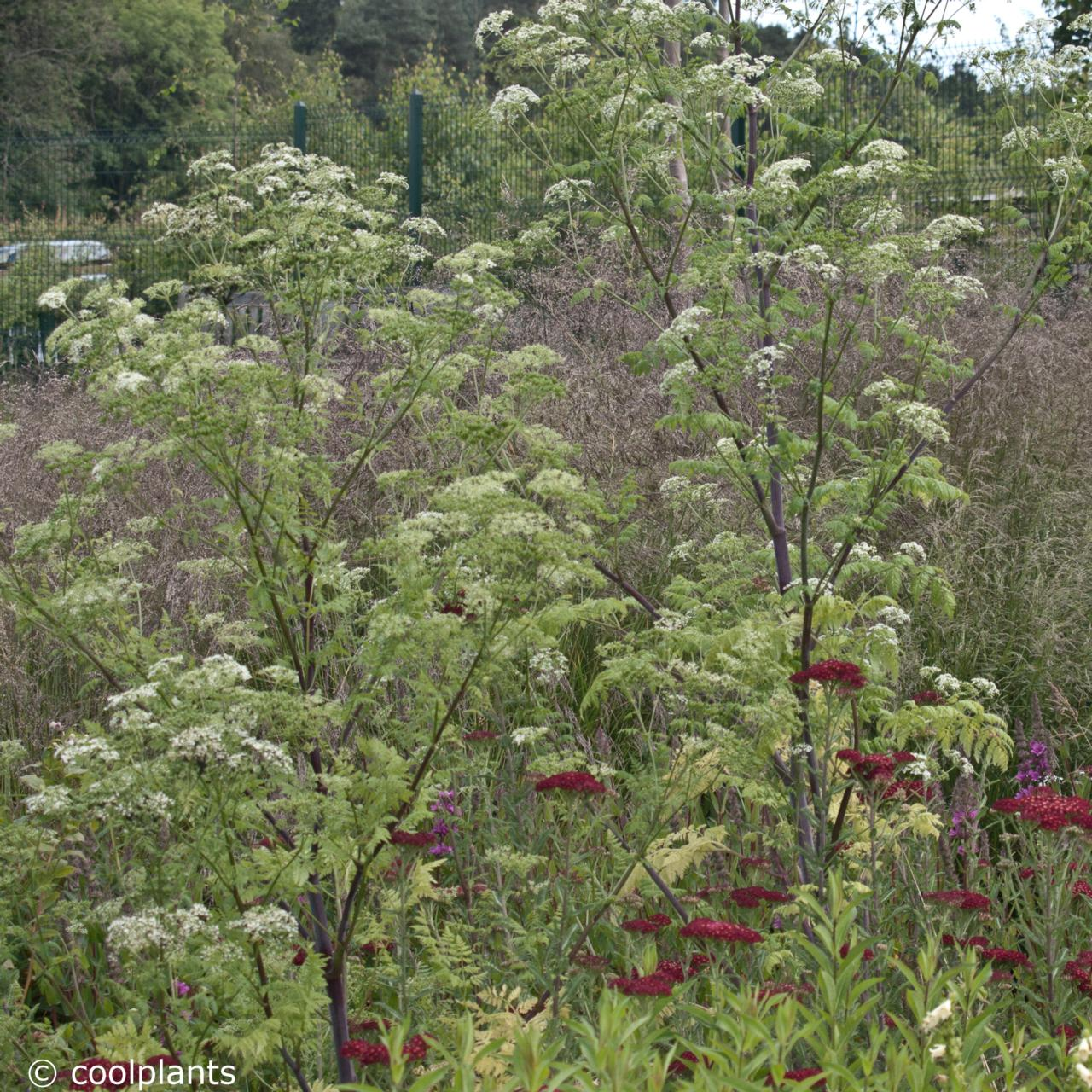 Seseli libanotis plant