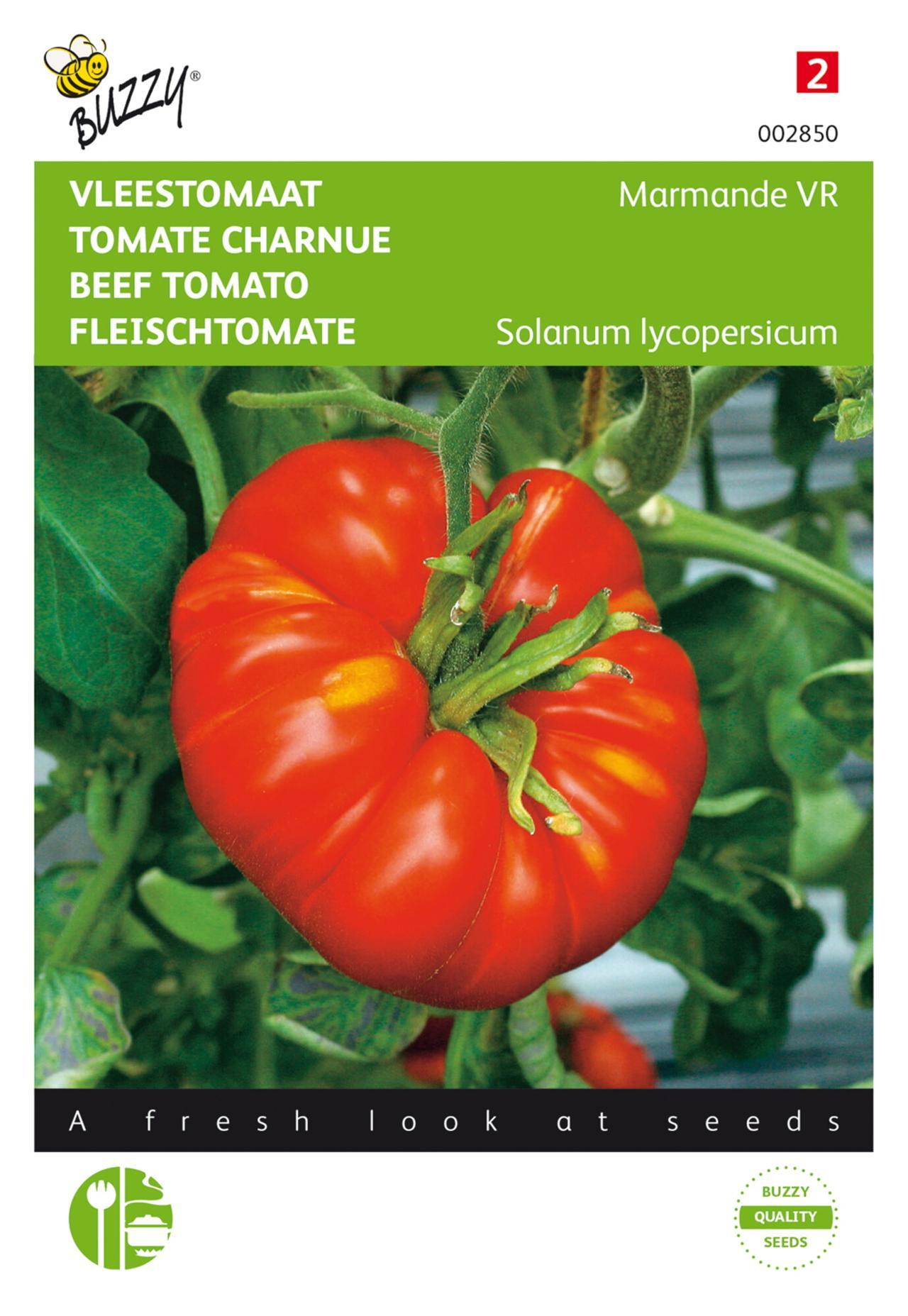 Solanum lycopersicum 'Marmande VR' plant