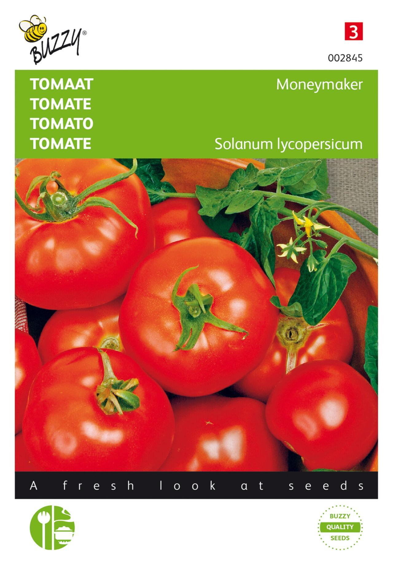 Solanum lycopersicum 'Moneymaker' plant