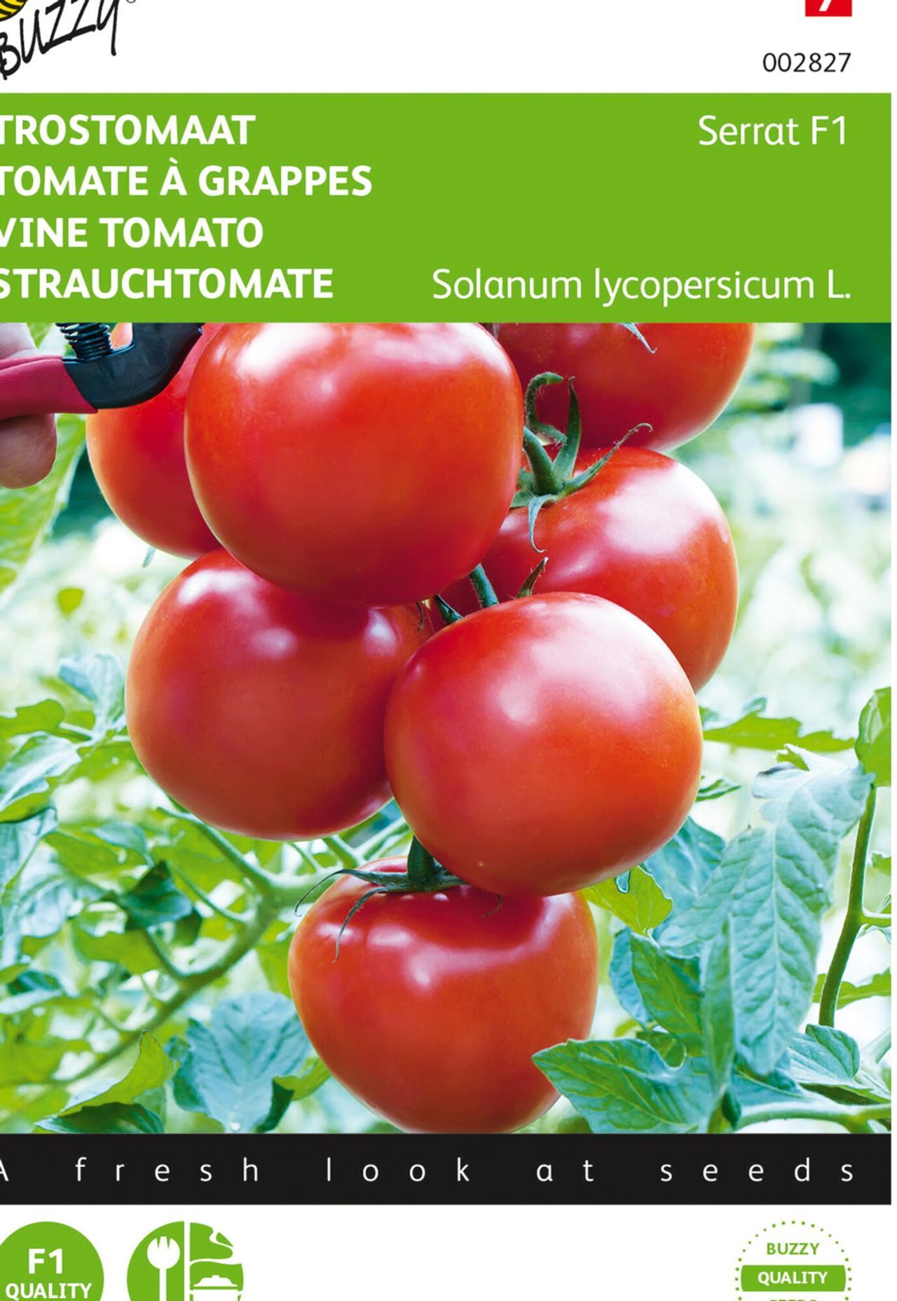 Solanum lycopersicum 'Serrat F1' plant