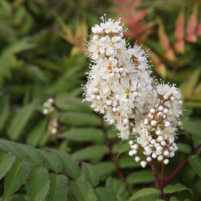 sorbaria-sorbifolia-sem