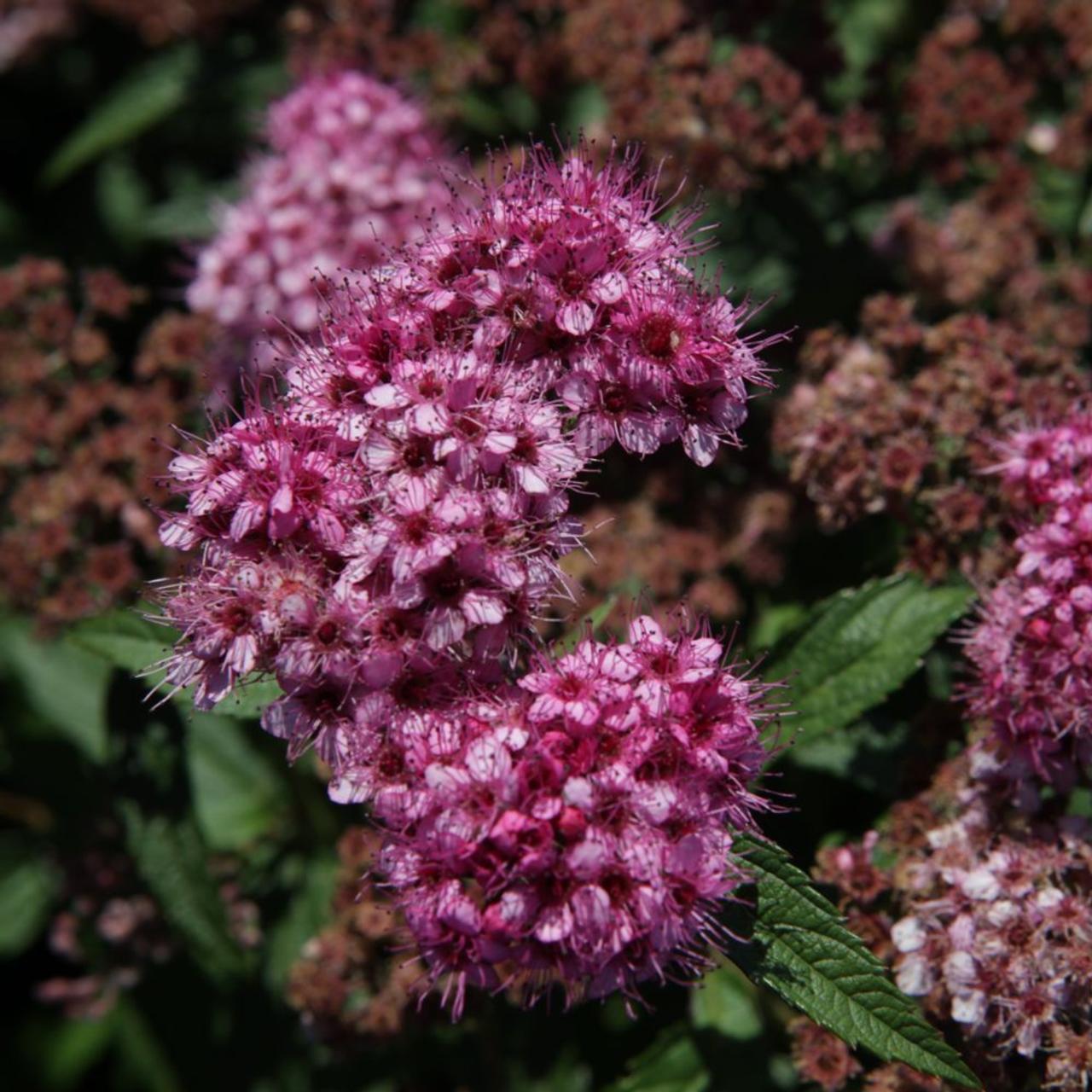 Spiraea japonica 'Dart's Red' plant