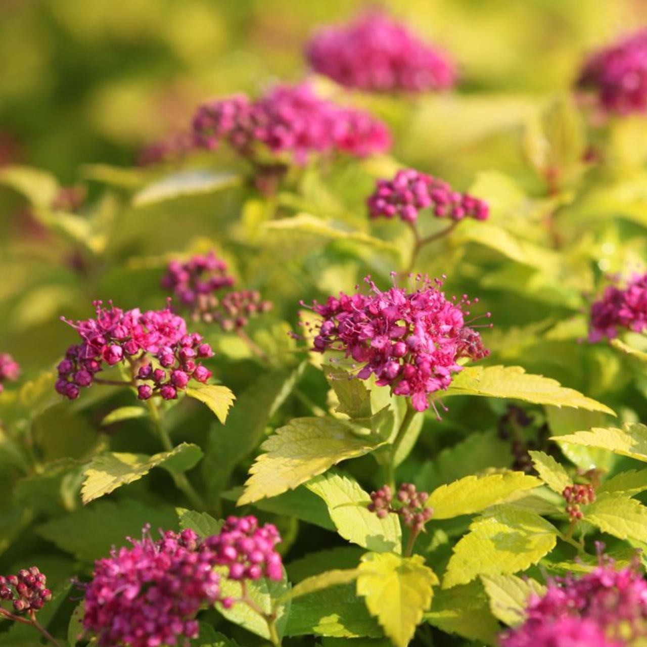 Spiraea japonica 'Double Play Gold' plant