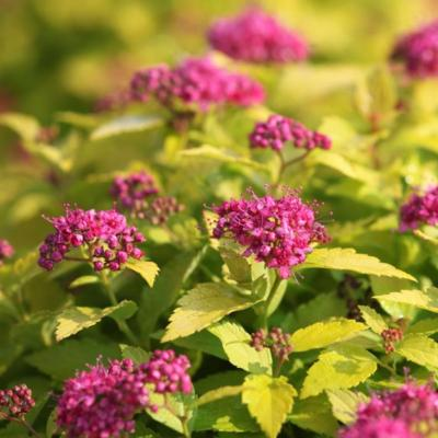 spiraea-japonica-double-play-gold