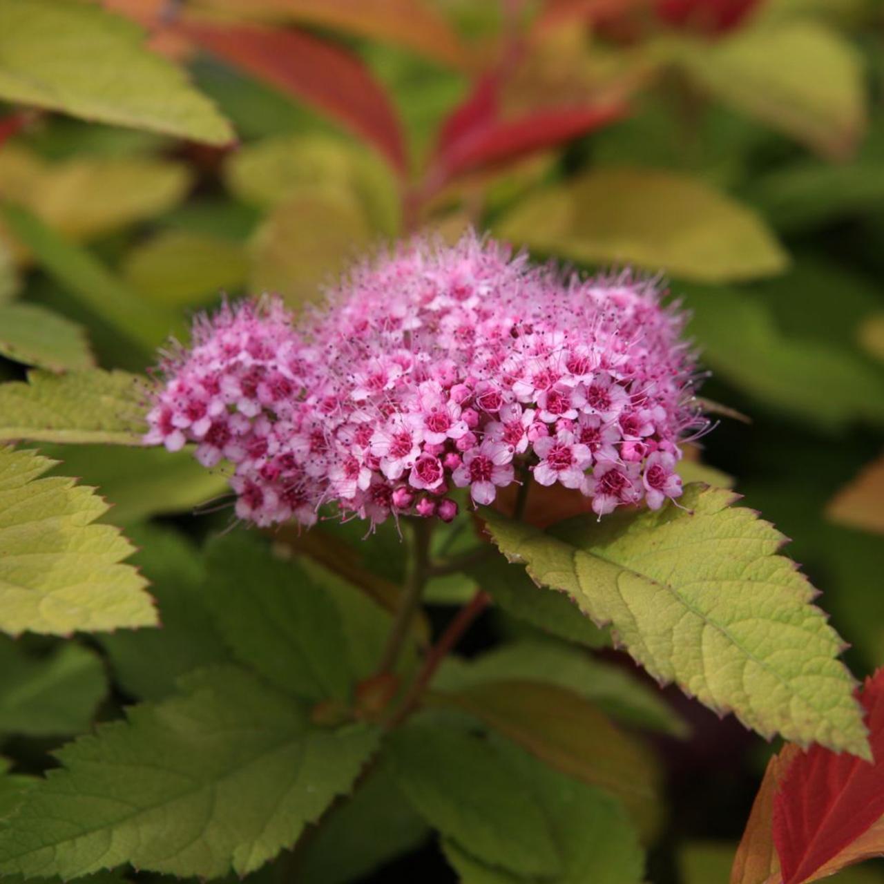 Spiraea japonica 'Pink & Gold' plant