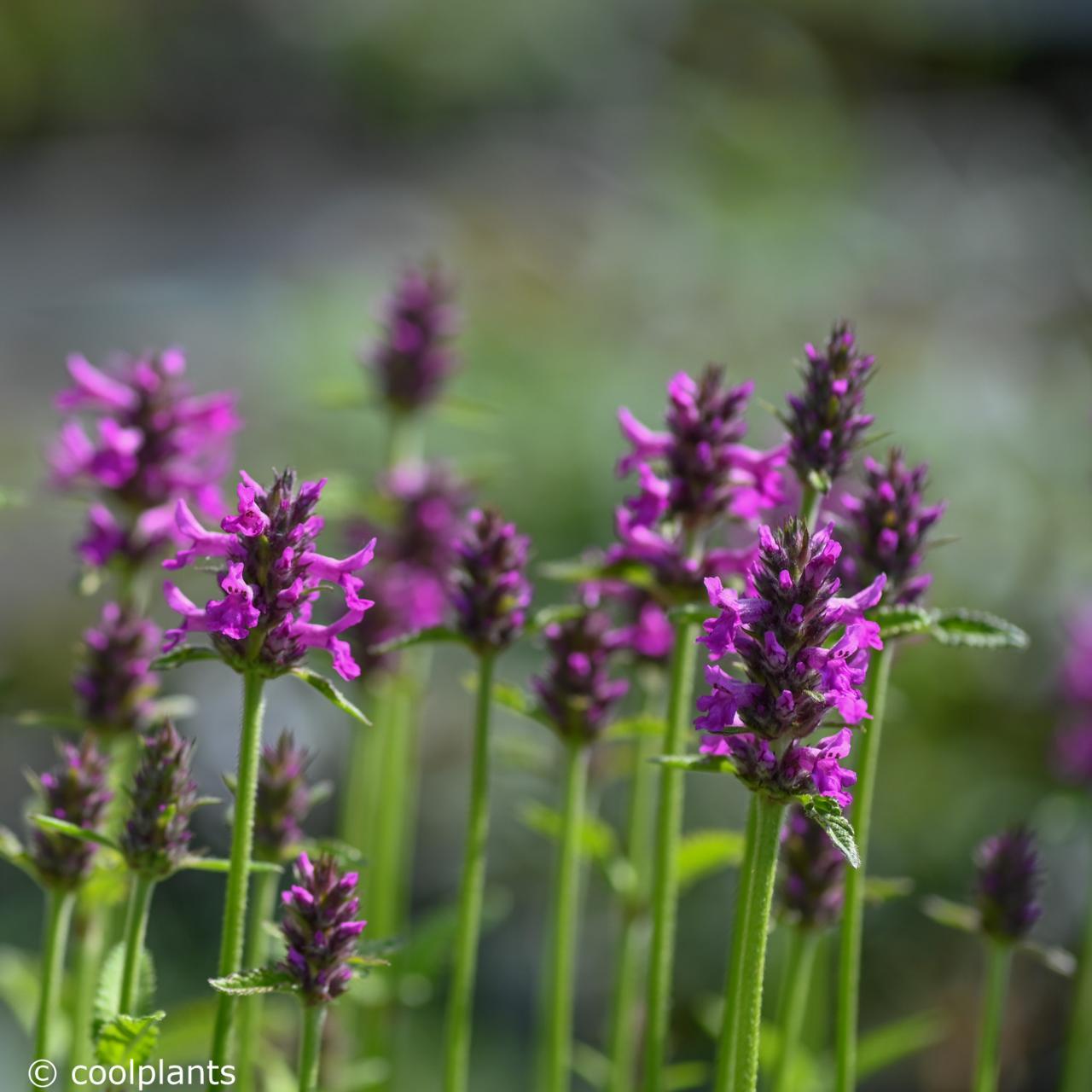 Stachys 'Summer Romance' plant