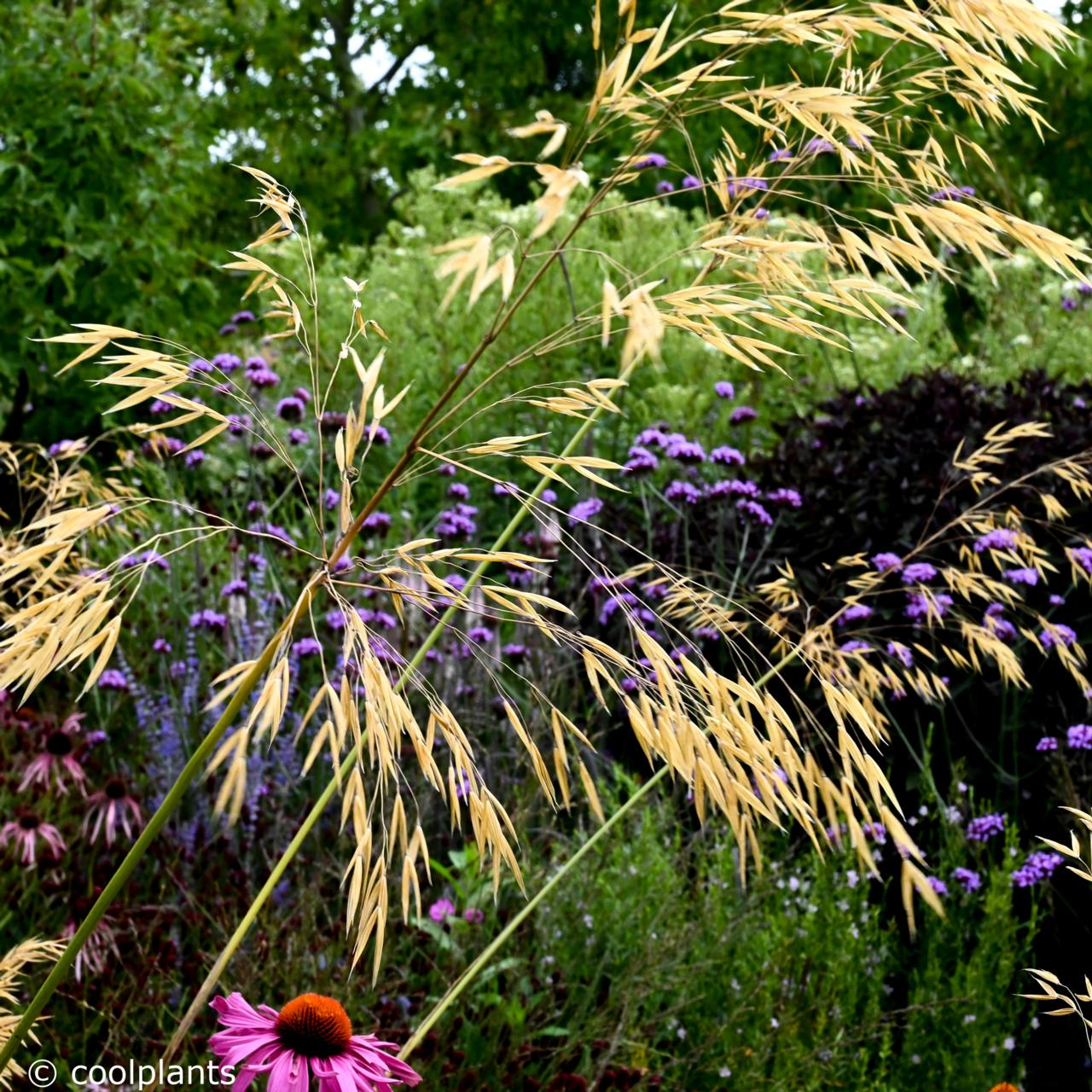 Stipa gigantea plant