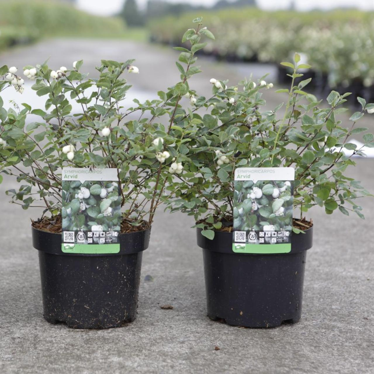 Symphoricarpos 'Arvid' plant