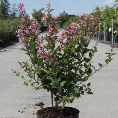 syringa-bloomerang-pink-perfume