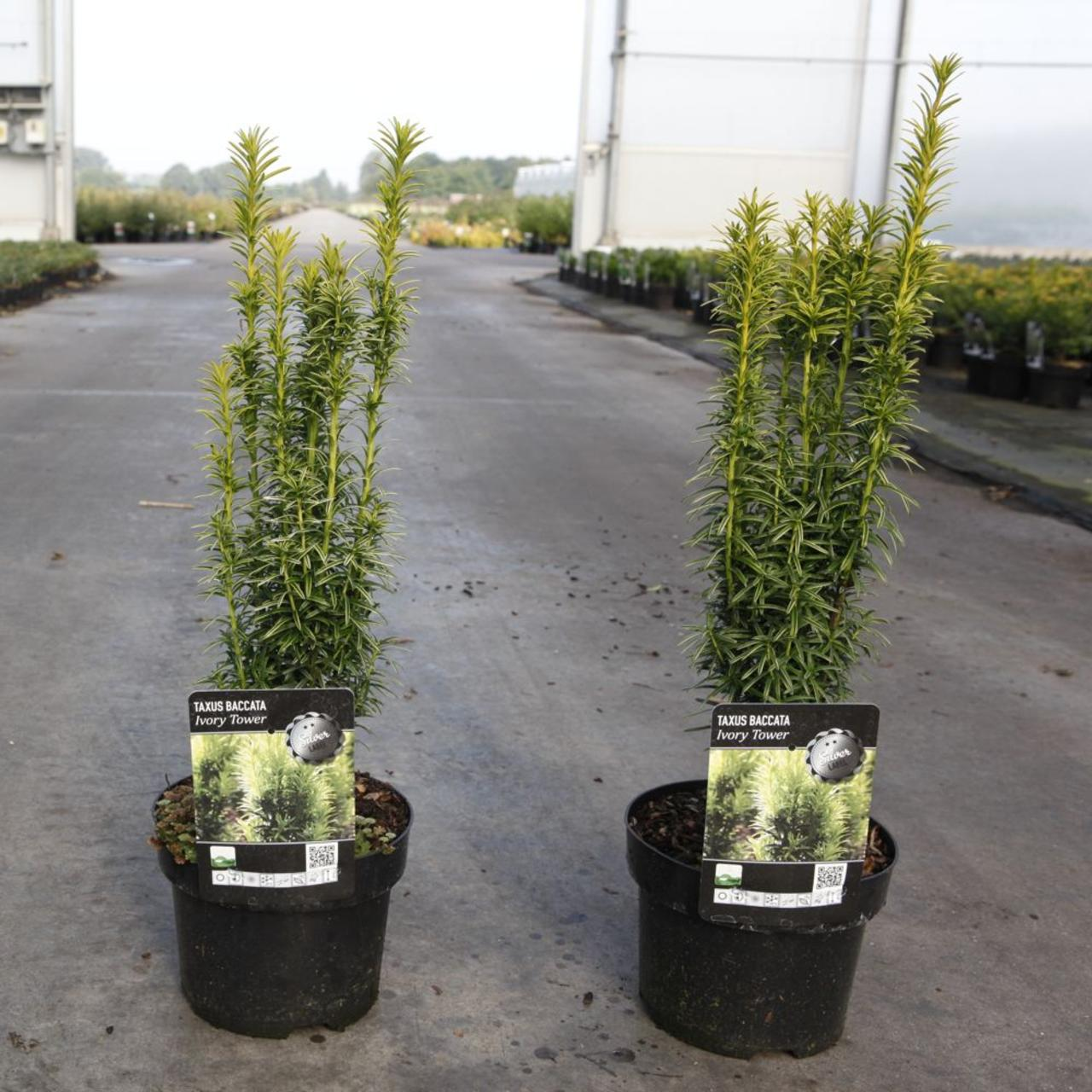 Taxus baccata 'Ivory Tower' plant