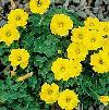 Oxalis perdicaria plant