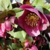 Helleborus 'Charmer' plant