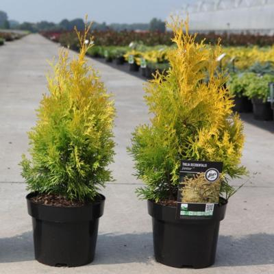 thuja-occidentalis-jantar