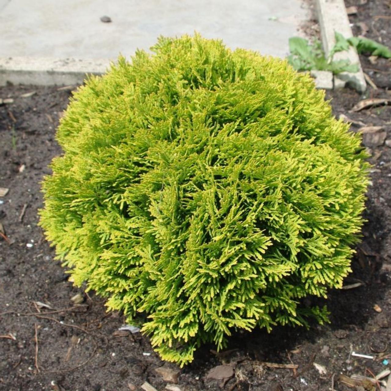 Thuja occidentalis 'Mirjam' plant