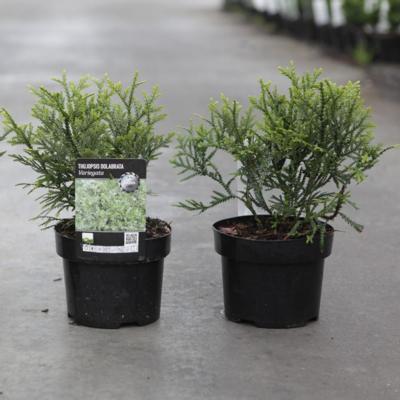 thujopsis-dolabrata-variegata