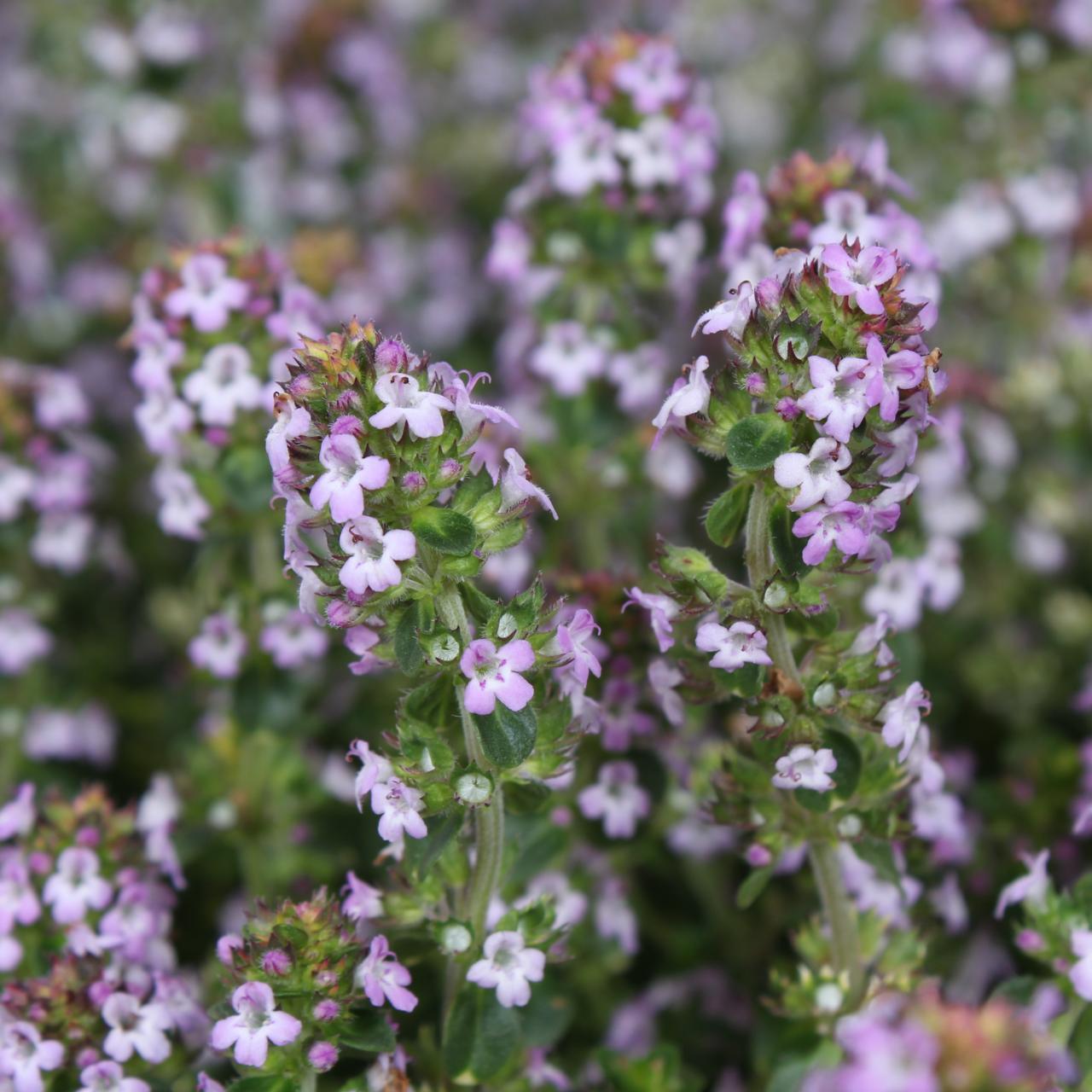 Thymus 'Doone Valley' plant