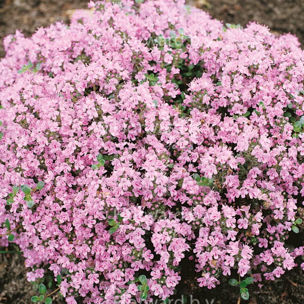Thymus serpyllum 'Pink Chintz' plant