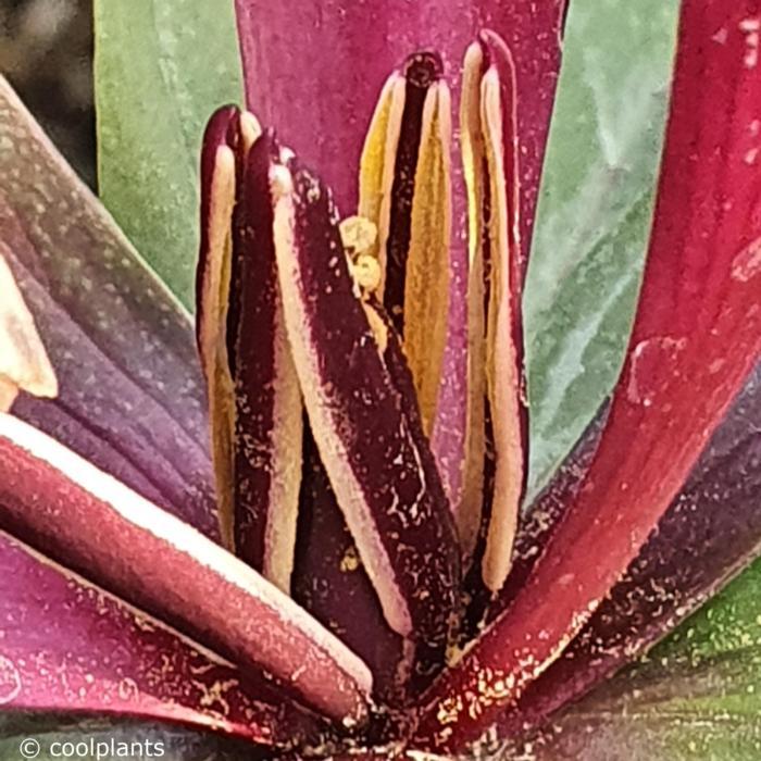 Trillium kurabayashii plant