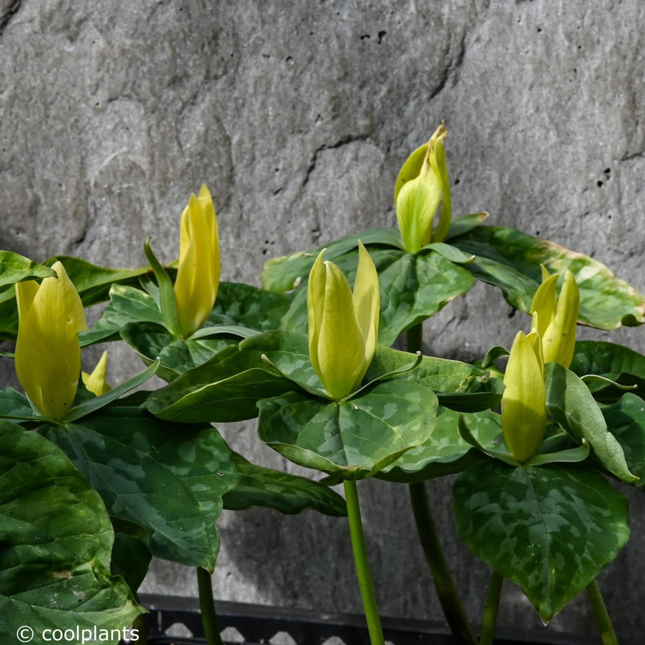 Trillium luteum plant