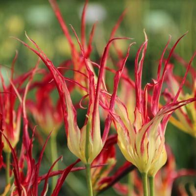tulipa-acuminata