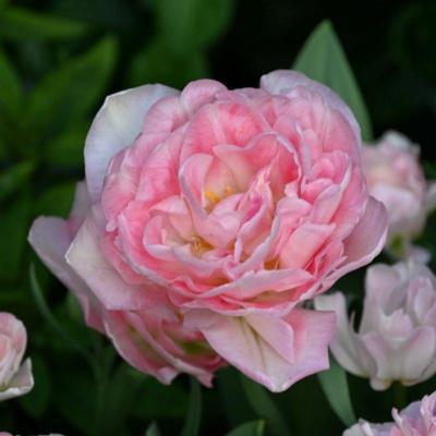 tulipa-angelique
