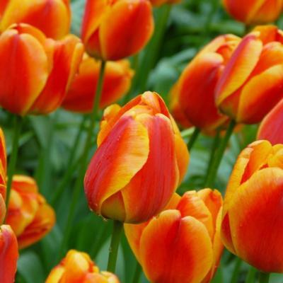 tulipa-apeldoorns-elite