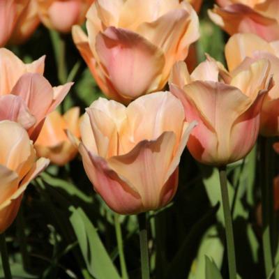 tulipa-apricot-beauty
